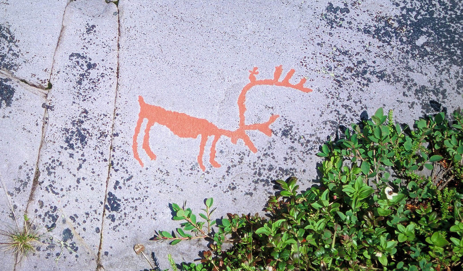 Close up of petroglyph of reindeer in Alta, Finnmark.