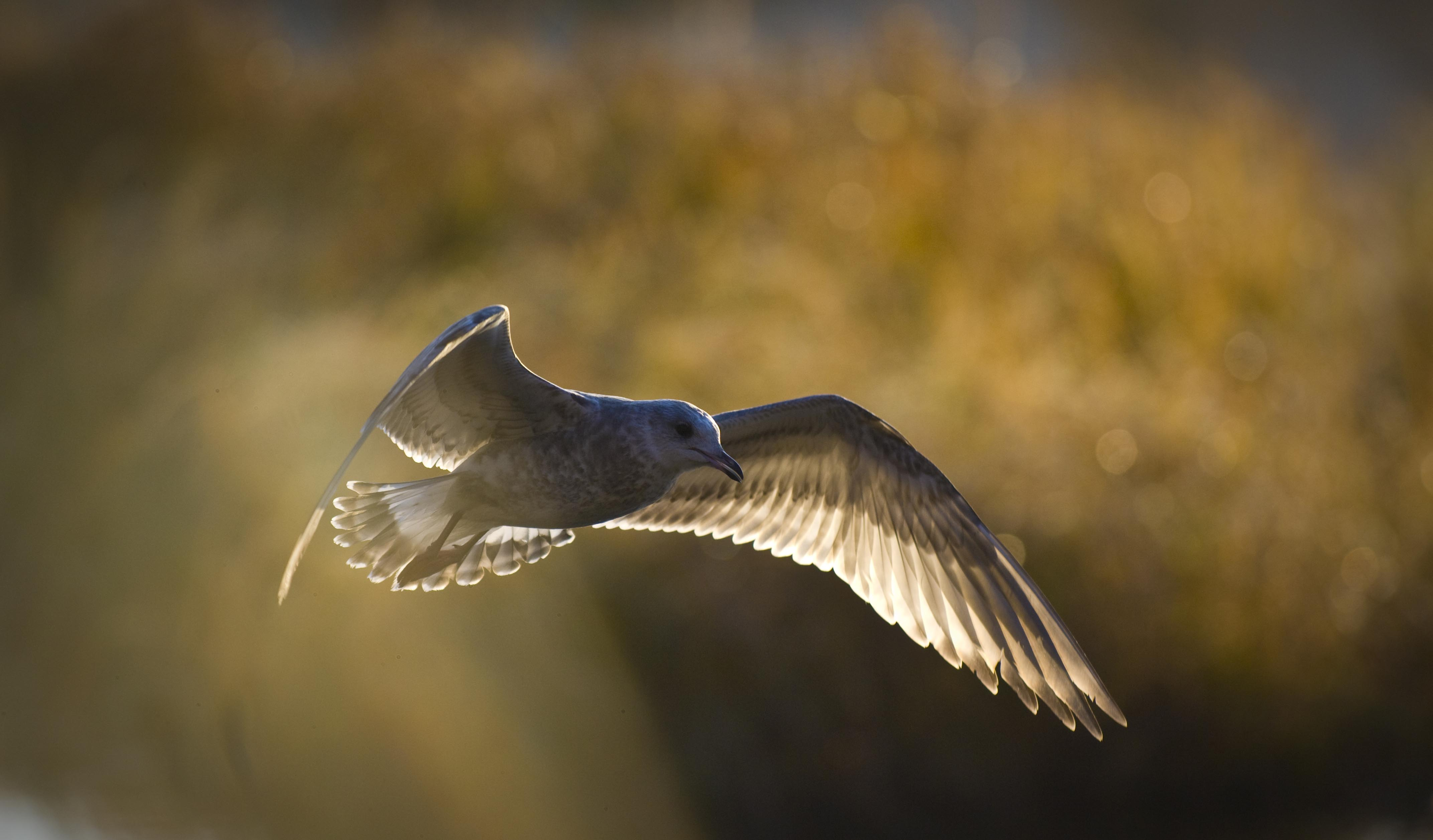 A young seagull flying in the morning sun.